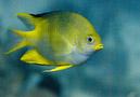 en söt Gyllengul frökenfisk (Amblyglyphidodon aureus)