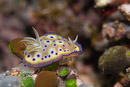 the nudibranch Goniobranchus kuniei