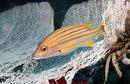 Orangerandig snapperfisk (Lutjanus carponotatus)
