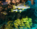 Diagonal-banded sweetlips (Plectorhinchus lineatus) and Five-lined snapper (Lutjanus quinquelineatus) below