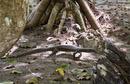 Mangrove monitor (Varanus indicus)