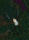 Large spider