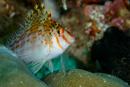 Dwarf hawkfish (Cirrhitichthys falco)