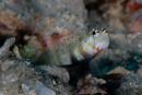 Spotted shrimpgoby (Amblyeleotris guttata)