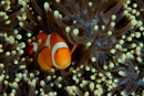 False clown anemonefish (Amphiprion ocellaris)