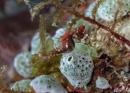 Severn's pygmy seahorse (Hippocampus severnsi)