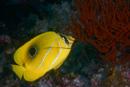 Bennett's Butterflyfish (Chaetodon bennetti)