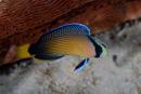 Praktdvärgabborre (Pseudochromis splendens)