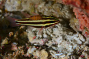 Blackstripe cardinalfish (Apogon nigrofasciatus) with parasitic copepod