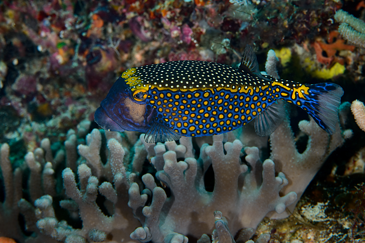 Spotted boxfish (Ostracion melaegris)