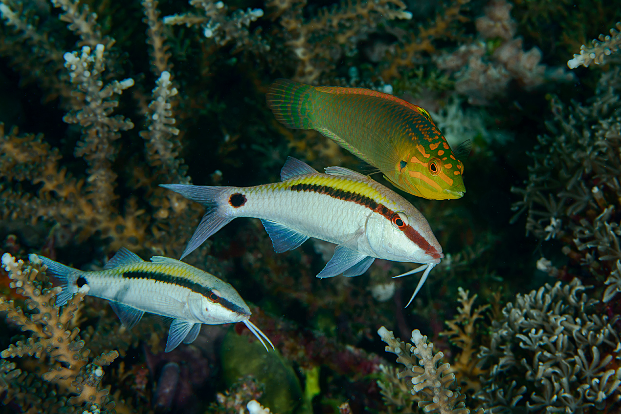 Dash-dot goatfish (Parupeneus barberinus) and Yellowface wrasse (Halichoeres solorensis)