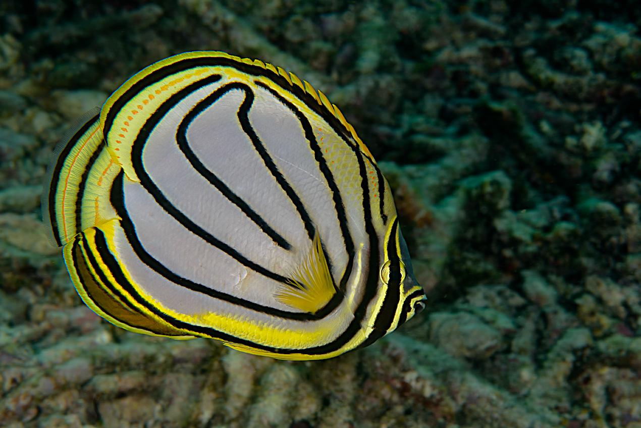 Meyer's butterflyfish (Chaetodon meyeri)