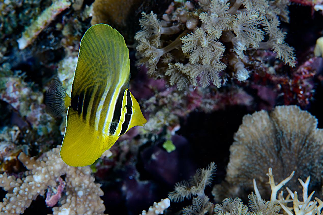 juvenile Sailfin tang (Zebrasoma veliferum)
