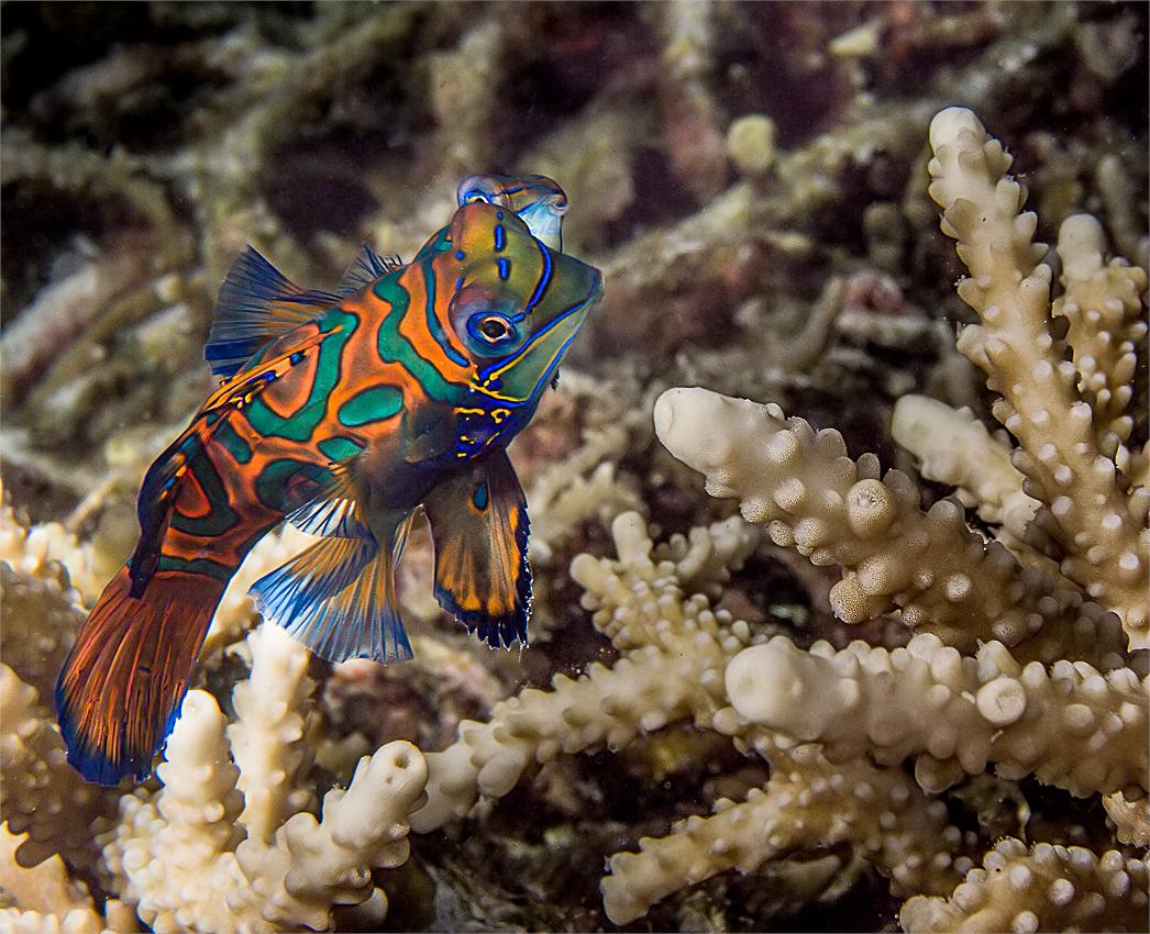 mating Mandarine fish (Synchiropus splendidus)