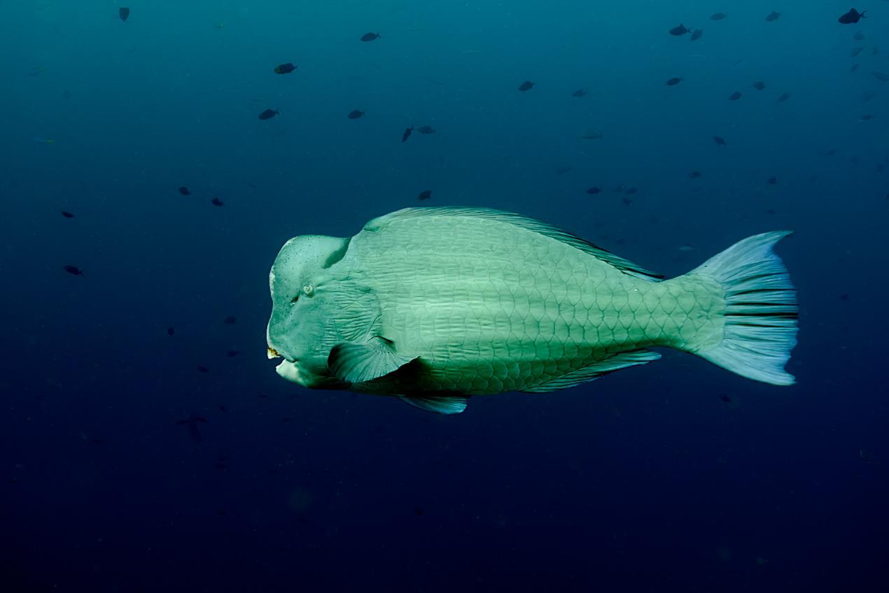 Bumbhead parrotfish (Bolbometopon muricatum)