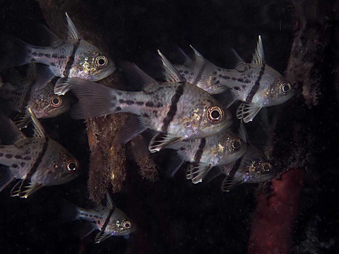 Orbicular cardinalfish (Spaeramia orbicularis)
