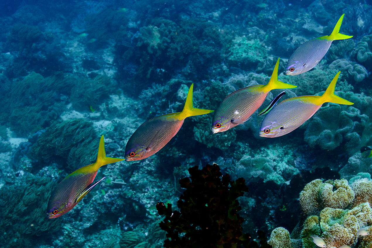 Blue and yellow fusilier (Caesio teres)