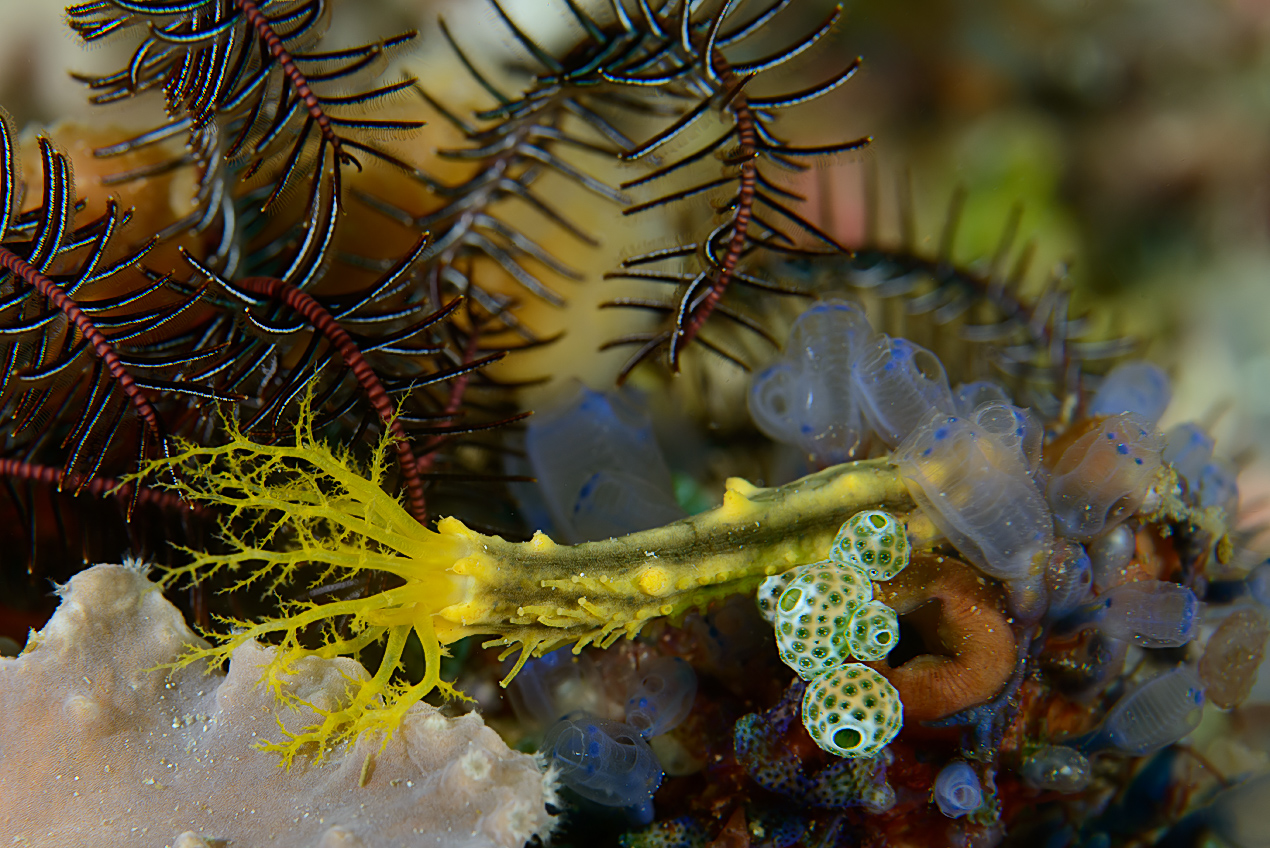 Yellow sea cucumber (Colochirus robustus) with sea-squirts and a crinoid