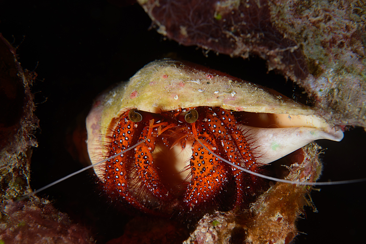 White-spotted hermit crab (Dardanus megistos)