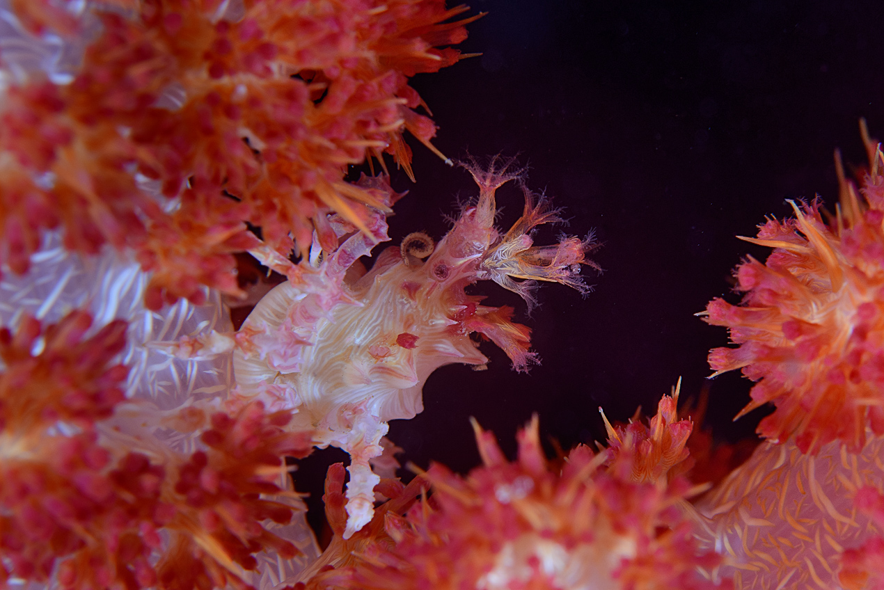 Soft coral crab (Hoplophrys oatesi) wearing polyps for camoflage