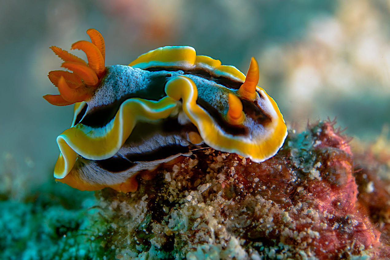 Anna's chromodoris (Chromodoris annae)