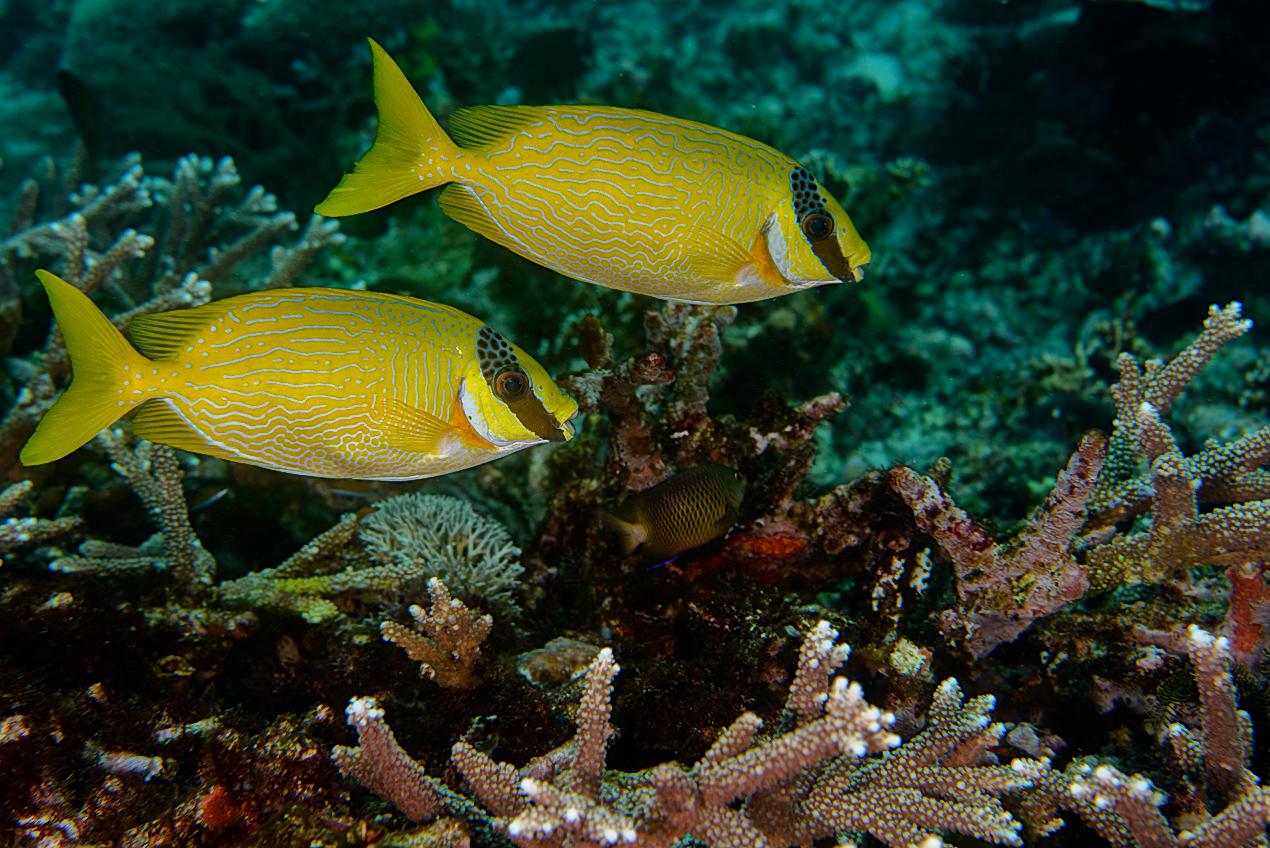 Masked rabbitfish (Siganus puellus)