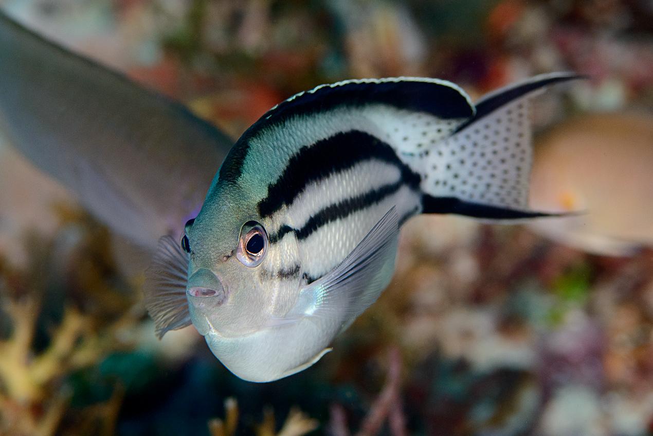 Lamarck's angelfish (Genicanthus lamarcki)