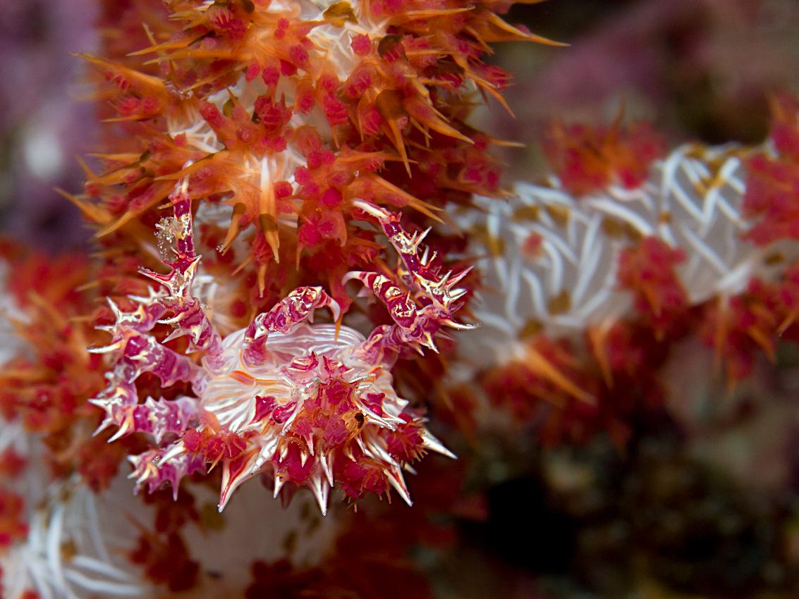 Soft coral crab (Hoplophrys oatesi)