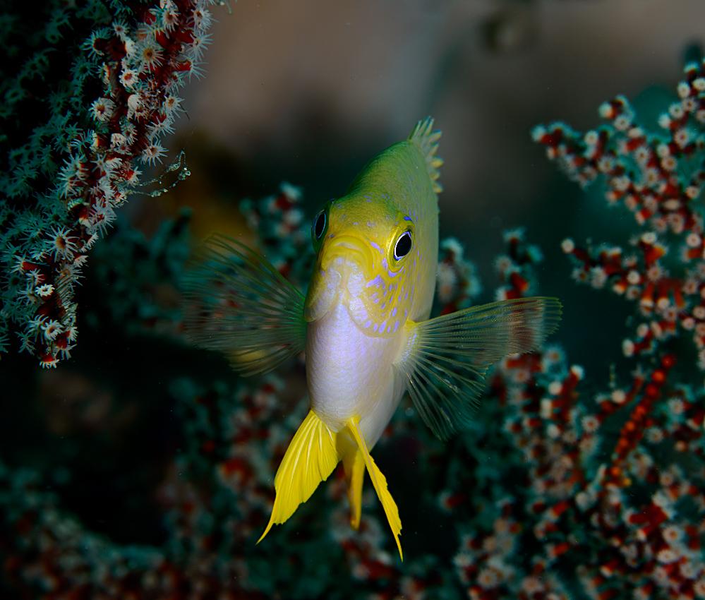 Golden damsel (Amblyglyphidodon aureus)