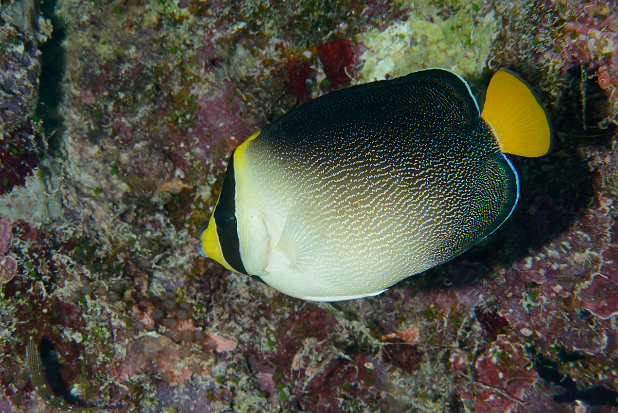 Vermiculated angelfish (Chaetodontoplus mesoleucus)