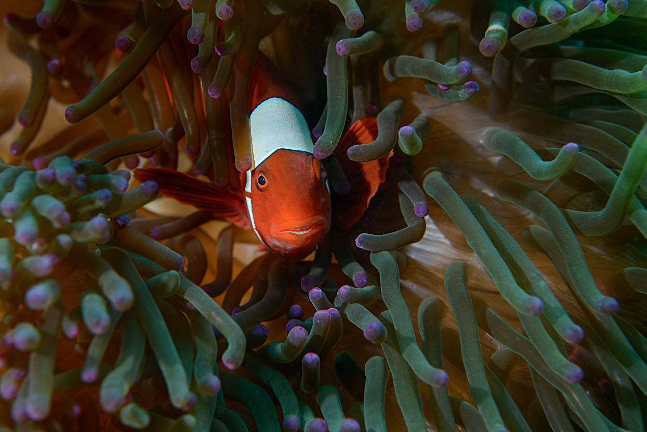Spinecheek anemonefish (Premnas biaculeatus)