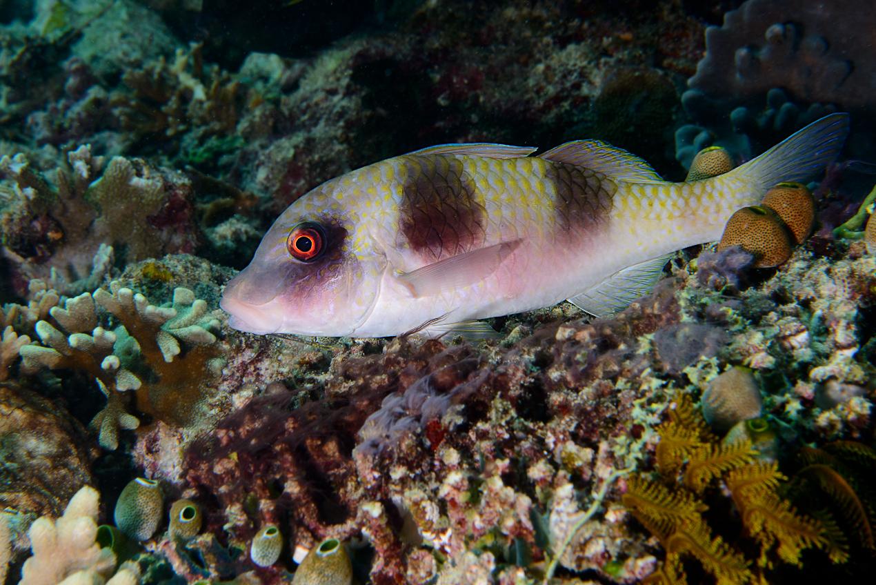 Twobarred Goatfish (Parupeneus crassilabris)