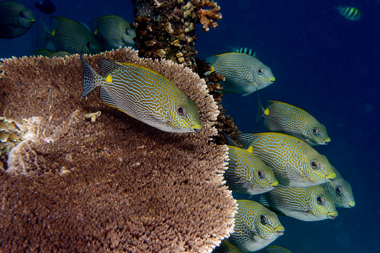 Golden rabbitfish (Siganus guttatus)