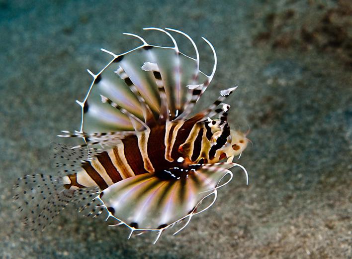 Zebra lejonfisk