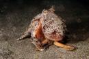 Bläckfisk (Octopus sp)