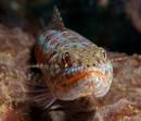 a lizardfish (Synodus sp)