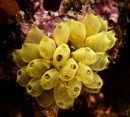 Sea squirt (Pycnoclavella?)