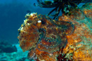 Reef octopus (Octopus cyaneus?)