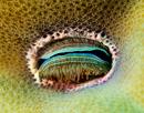 Korallmussla (Pedum spondyloideum)