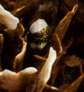 Snöflingemuräna (Echidna nebulosa)