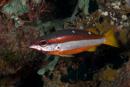 Tvåfläckig snapperfisk (Lutjanus biguttatus)