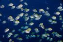 Östlig sergeantfrökenfisk (Abudefduf vaigiensis)