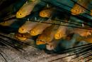 Frostfin cardinalfish (Apogon hoeventii)
