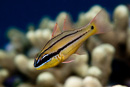 Bargill cardinalfish (Apogon sealei)