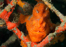 frogfish (Antennarius sp)