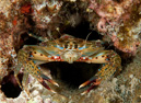 Swimming crab, probably Thalamita prymna