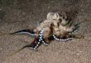 Octopus (Octopus sp)