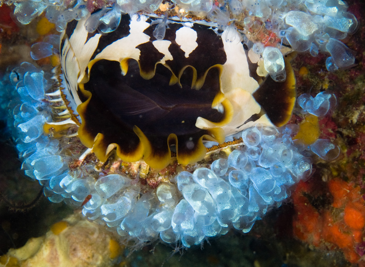 Variable thorny oyster (Spondylus varius) with sea squirts