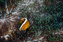 Orange anemonfisk (Amphiprion sandaracinos)