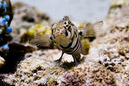 Black-barred sandperch (Parapercis tetracantha)